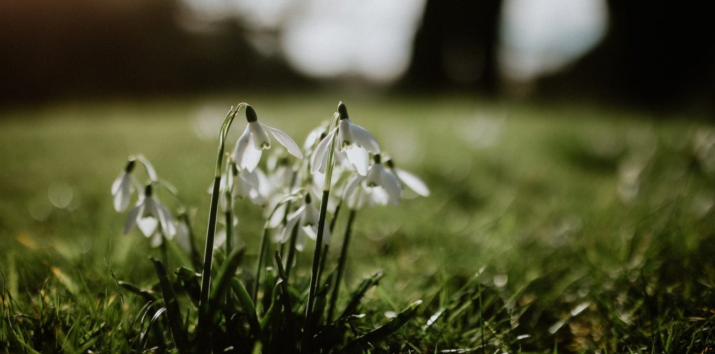 Snowdrops blooming on a green field